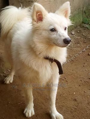 6-12 Month Male Purebred American Eskimo | Dogs & Puppies for sale in Ondo State, Akure