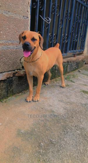 1+ Year Male Purebred Boerboel | Dogs & Puppies for sale in Lagos State, Ikorodu