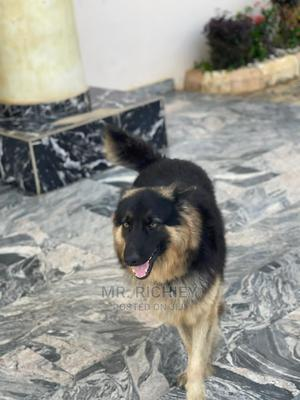 6-12 Month Female Purebred American Eskimo | Dogs & Puppies for sale in Lagos State, Surulere