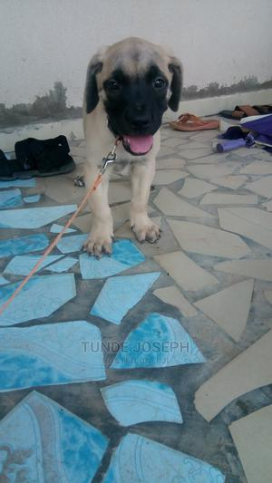 1-3 Month Male Purebred Boerboel | Dogs & Puppies for sale in Kwara State, Ilorin East