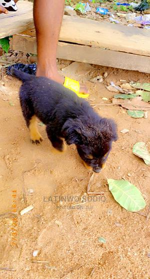 1-3 Month Male Purebred Rottweiler   Dogs & Puppies for sale in Kwara State, Offa