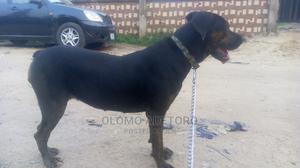 1+ Year Female Purebred Boerboel | Dogs & Puppies for sale in Lagos State, Ikorodu