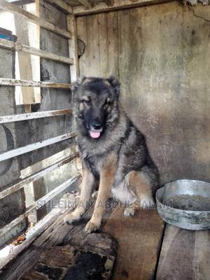 1+ Year Female Purebred Caucasian Shepherd   Dogs & Puppies for sale in Abuja (FCT) State, Kado