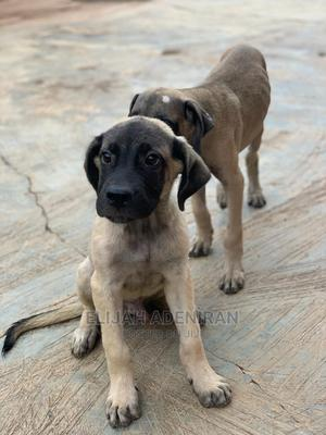 1-3 Month Male Purebred Boerboel | Dogs & Puppies for sale in Oyo State, Egbeda