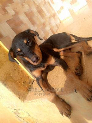 1-3 Month Female Purebred Rottweiler   Dogs & Puppies for sale in Ogun State, Ijebu Ode