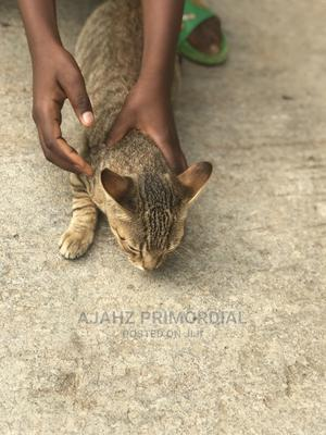3-6 Month Female Purebred Colorpoint Shorthair   Cats & Kittens for sale in Abuja (FCT) State, Gwagwalada