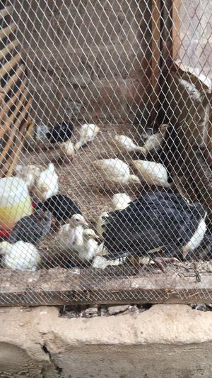 6 Weeks Old Turkey   Birds for sale in Oyo State, Oluyole
