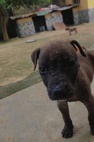 1-3 Month Male Purebred Boerboel   Dogs & Puppies for sale in Lagos State, Ikorodu