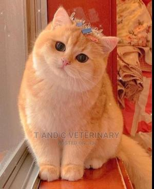 1-3 Month Male Purebred Persian | Cats & Kittens for sale in Lagos State, Agege