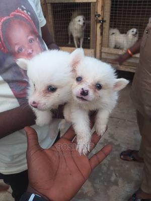 1-3 Month Male Purebred American Eskimo | Dogs & Puppies for sale in Ondo State, Akure
