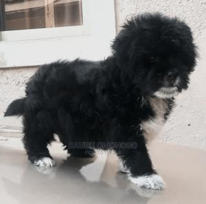3-6 Month Female Purebred Lhasa Apso | Dogs & Puppies for sale in Ogun State, Ayetoro