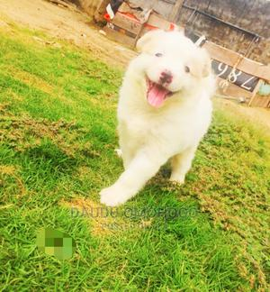 1-3 Month Female Purebred American Eskimo | Dogs & Puppies for sale in Ogun State, Ayetoro