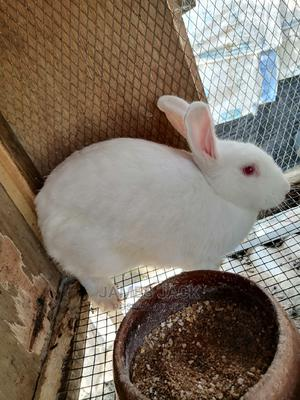 Rabbits for Sale   Livestock & Poultry for sale in Lagos State, Ajah