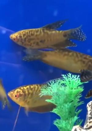 Gold Gourami Fish for Fish Bowls and Aquarium | Fish for sale in Lagos State, Surulere