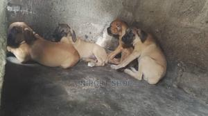 3-6 Month Male Purebred Boerboel   Dogs & Puppies for sale in Rivers State, Port-Harcourt