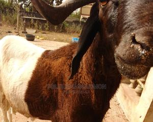Sallah Ram for Sale   Other Animals for sale in Lagos State, Lekki