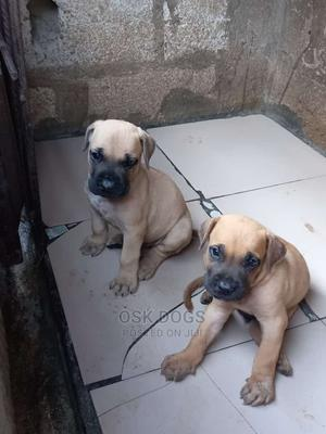 1-3 Month Female Purebred Boerboel   Dogs & Puppies for sale in Lagos State, Ikorodu