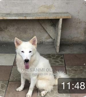 6-12 Month Male Purebred American Eskimo   Dogs & Puppies for sale in Lagos State, Yaba