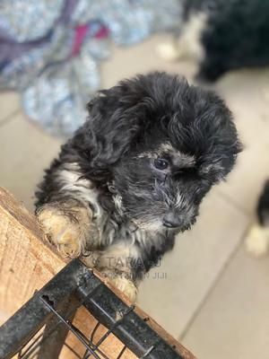 1-3 Month Male Purebred Lhasa Apso | Dogs & Puppies for sale in Ekiti State, Ado Ekiti