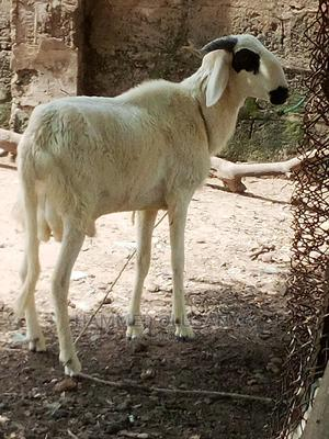 White Sallah Ram | Livestock & Poultry for sale in Kwara State, Ilorin West