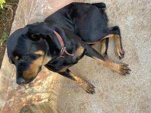 1+ Year Female Purebred Rottweiler | Dogs & Puppies for sale in Edo State, Ekpoma