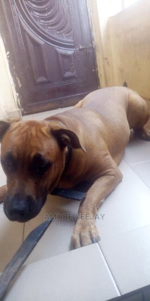 1+ year Female Purebred Mastiff | Dogs & Puppies for sale in Imo State, Owerri