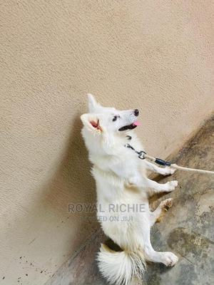 6-12 Month Female Purebred American Eskimo   Dogs & Puppies for sale in Ekiti State, Ado Ekiti