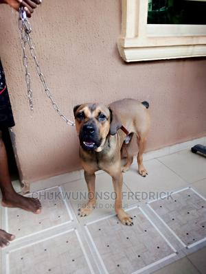 6-12 Month Male Purebred Boerboel   Dogs & Puppies for sale in Anambra State, Onitsha