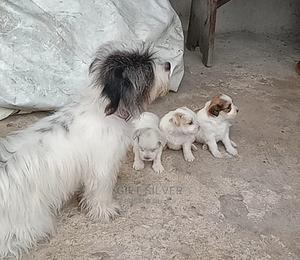 1-3 Month Female Purebred Lhasa Apso   Dogs & Puppies for sale in Rivers State, Obio-Akpor