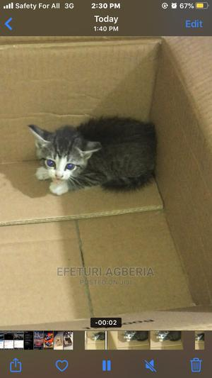 1-3 Month Female Purebred American Shorthair | Cats & Kittens for sale in Rivers State, Port-Harcourt