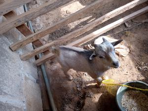 Local Goats | Livestock & Poultry for sale in Lagos State, Ikorodu