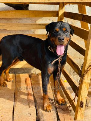 1+ Year Male Purebred Rottweiler   Dogs & Puppies for sale in Oyo State, Ibadan