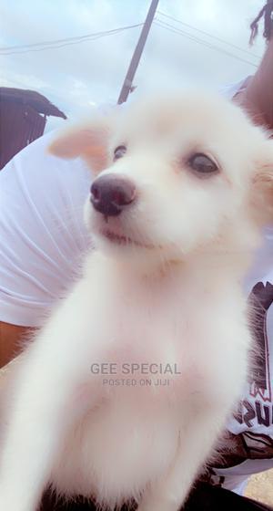 6-12 Month Female Purebred American Eskimo | Dogs & Puppies for sale in Delta State, Warri