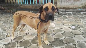 1+ Year Female Purebred Boerboel | Dogs & Puppies for sale in Rivers State, Port-Harcourt