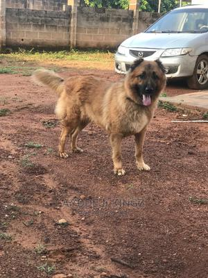 1+ Year Female Purebred Caucasian Shepherd | Dogs & Puppies for sale in Kwara State, Asa