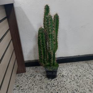 Available Potted Cactus Plant for Sale   Garden for sale in Lagos State, Ikeja
