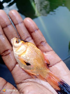 Ornamental Fishes | Fish for sale in Lagos State, Ajah