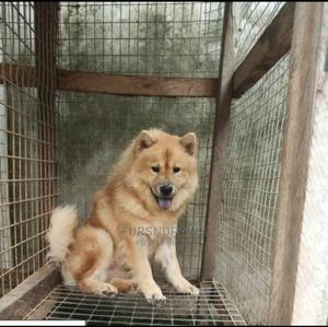 1+ year Female Purebred Chow Chow   Dogs & Puppies for sale in Lagos State, Agbara-Igbesan