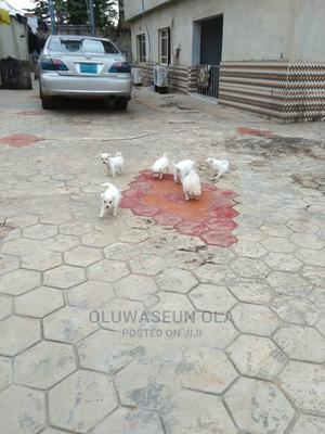 1-3 Month Female Purebred American Eskimo   Dogs & Puppies for sale in Lagos State, Ikorodu