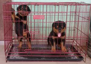 1-3 Month Male Purebred Rottweiler   Dogs & Puppies for sale in Akwa Ibom State, Uyo