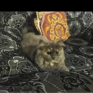 1-3 Month Male Purebred Persian | Cats & Kittens for sale in Lagos State, Ajah