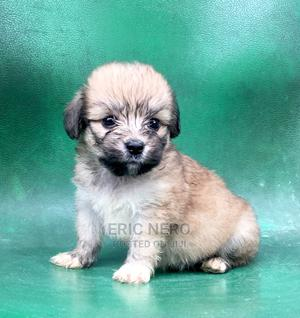 1-3 Month Female Purebred Lhasa Apso | Dogs & Puppies for sale in Imo State, Owerri