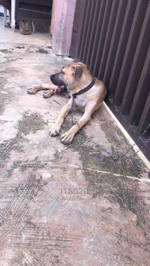 3-6 Month Male Purebred Boerboel   Dogs & Puppies for sale in Ogun State, Ado-Odo/Ota