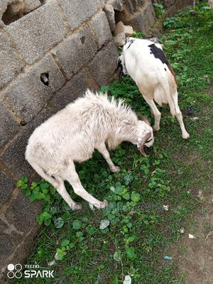 Salah RAM for Sale   Other Animals for sale in Abuja (FCT) State, Mpape