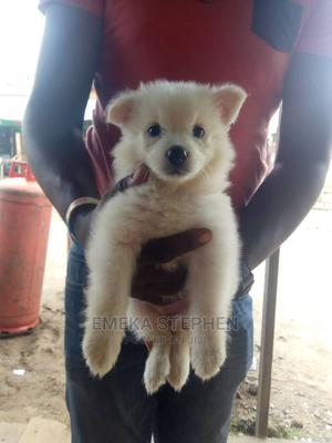 1-3 Month Male Purebred American Eskimo   Dogs & Puppies for sale in Lagos State, Isolo