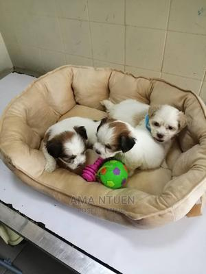 1-3 Month Male Purebred Lhasa Apso   Dogs & Puppies for sale in Lagos State, Yaba