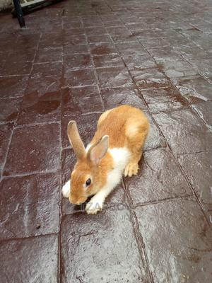 Domestic Rabbit   Other Animals for sale in Lagos State, Ikeja