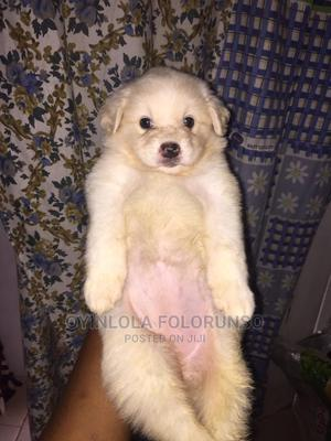 1-3 Month Male Purebred American Eskimo | Dogs & Puppies for sale in Osun State, Osogbo