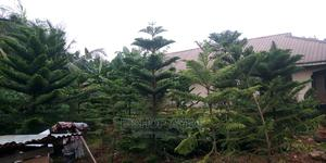 Big Araucaria Flower Available | Feeds, Supplements & Seeds for sale in Edo State, Benin City