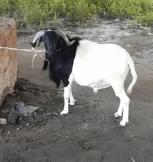 Place an Order for Your Salah Ram   Livestock & Poultry for sale in Lagos State, Kosofe